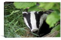 Young Badger Exploring, Canvas Print