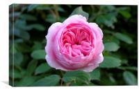 Pink Rose, Canvas Print