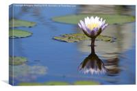 African Water Lily, Canvas Print