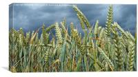 A Stormy day in a Wheat field in Herefordshire., Canvas Print