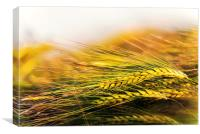 Barley in the evening sun, Canvas Print