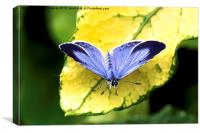 Holly Blue Butterfly, Canvas Print
