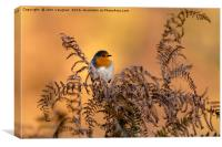 Early frost brings native Robin into Autumn sun, Canvas Print