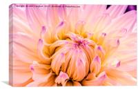 Dahlia Violet and White, Canvas Print