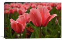Pink tulips in spring sunshine, Canvas Print