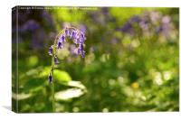Sussex Bluebells in afternoon light , Canvas Print
