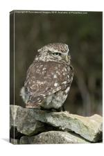 Little owl , Canvas Print
