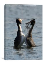 Courting Grebes, Canvas Print