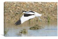 Avocet Take-off, Canvas Print