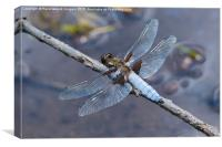 Broad Bodied chaser at rest, Canvas Print