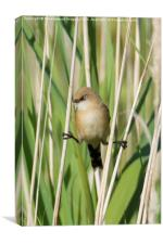 Bearded tit Trapeze Artist, Canvas Print
