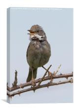 Whitethroat in song, Canvas Print
