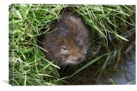 Vole in the Hole, Canvas Print