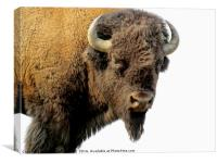 Bison looking at us, Canvas Print