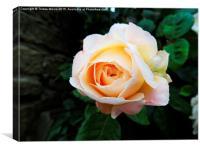 Peachy Pink , Canvas Print
