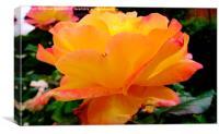 Sunshine Rose, Canvas Print