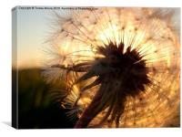 Sun setting through Dandelion head, Canvas Print