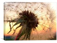Sunset hues with a Dandelion, Canvas Print