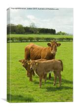 Limousin Cow and calves, Canvas Print