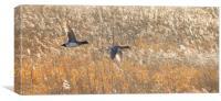 Birds in flight at Martin Mere, Canvas Print