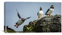 Atlantic Puffins, Canvas Print