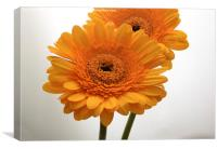 yellow gerbera flowers, Canvas Print