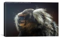 Marmoset Monkey, Canvas Print