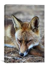 Sleepy Red Fox Vulpes vulpes, Canvas Print