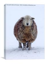 Happy Herdwick Ewe and Falling Snow, Canvas Print