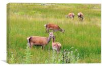 Deer Grazing , Canvas Print