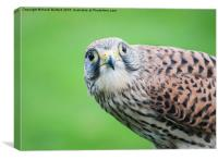 Kestrel, Canvas Print