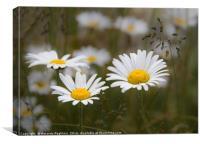 daisies in a field, Canvas Print