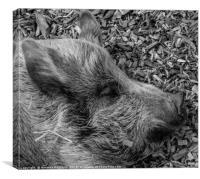 Sleeping Pig, Canvas Print
