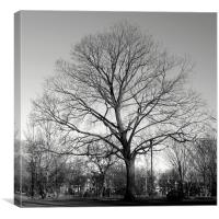 Maple Tree, Withrow Park, Toronto, Canada (Winter), Canvas Print