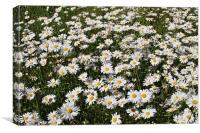 Ox Eye daisies, Canvas Print