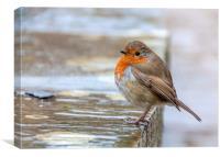 Robin in the Rain, Canvas Print