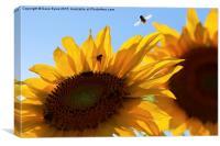 Sunflower Buzz, Canvas Print