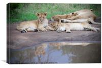Lion Cubs Reflecting, Canvas Print