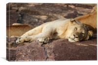 Resting Lion, Canvas Print