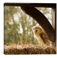 English Barn Owl, Canvas Print