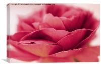 Single pink rose, Canvas Print
