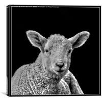 Little lamb, Canvas Print