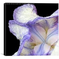 Purple Iris, Canvas Print