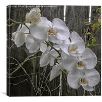 White Moth Orchid, Canvas Print