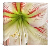 Amaryllis Hippeastrum flower, Canvas Print
