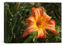 Orange Day Lily, Canvas Print