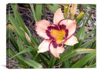 Pink daylily growing in Queensland, Canvas Print