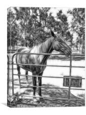 Beautiful horse waiting at a farm gate in Queensla, Canvas Print