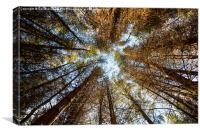 Forest Skyline - Looking up at trees in a forest, Canvas Print