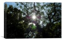 Sunflare through tree, Canvas Print